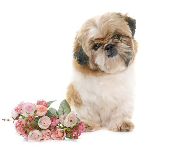 Raças de cachorro pequeno para se apaixonar