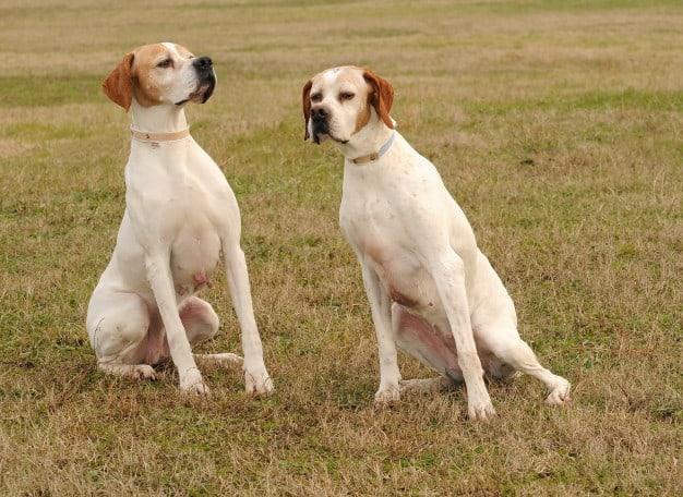 Ciclo sexual das cadelas: Duração e fases