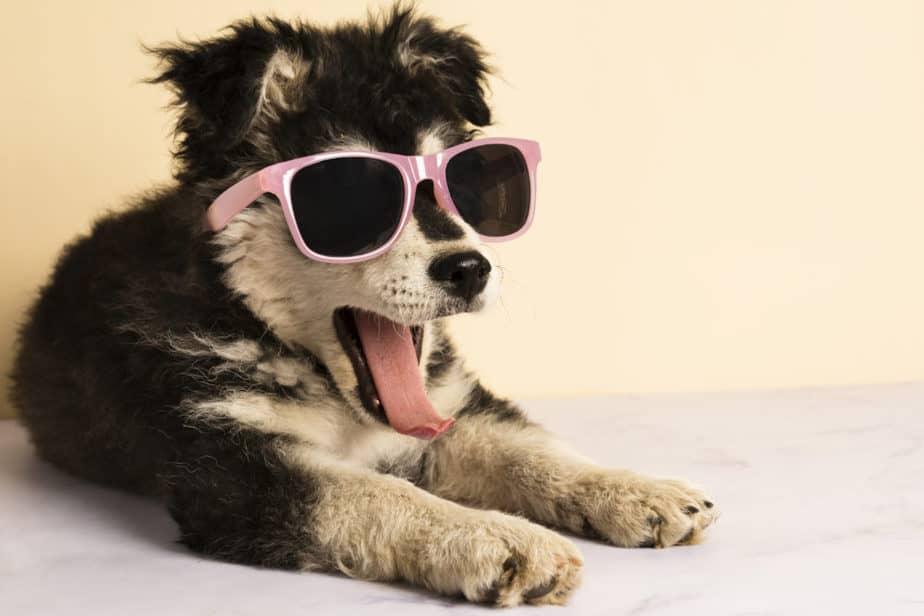 cachorro vira lata com oculos de sol preguiçoso
