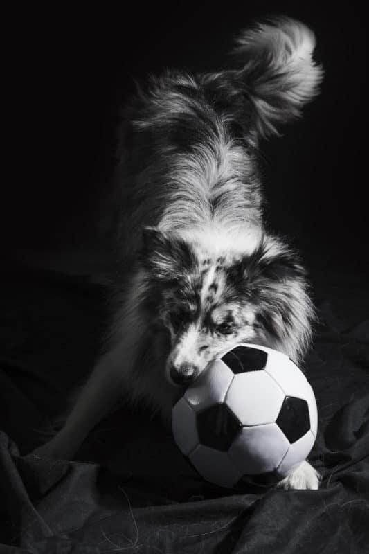 Cachorro fofo Border Collie brincando com bola
