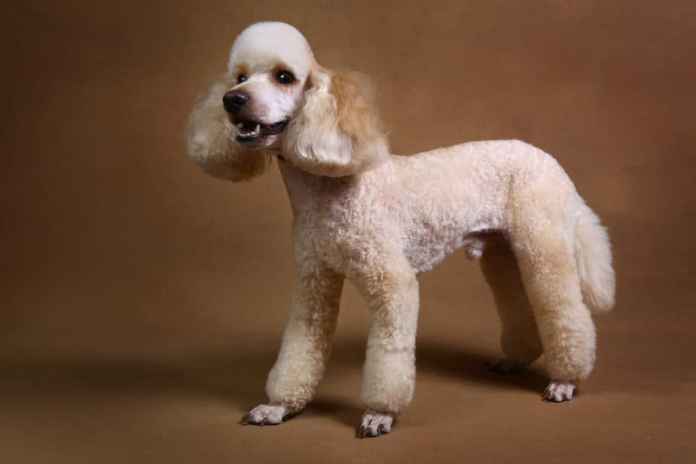 Poodle adulto tosado em fundo marrom