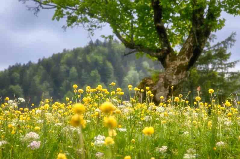 Trollblume und Bergahorn