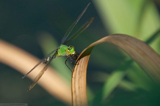 GreenDragonFly1