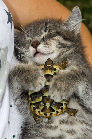 The kitten who fell in love with a turtle. Animals adopt other animals, outside their species, they love a