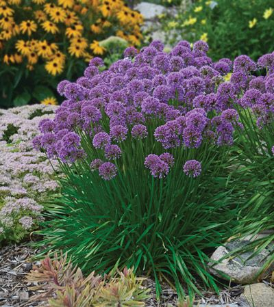 Allium Millenium is a versatile perennial for a sunny garden because of its compact upri