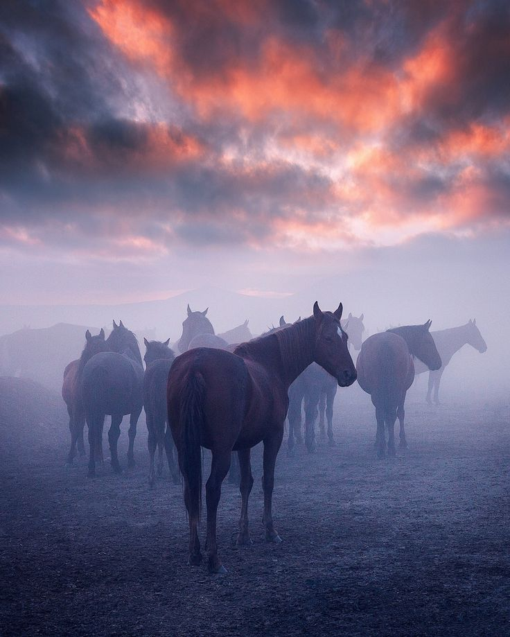 Mystical sunset and wild mustang – horses in the Erciyes Mountain region. –