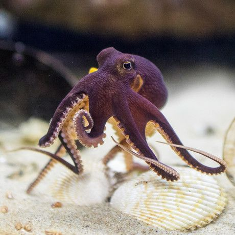 COCONUT OCTOPUS amphoioctopus marginatus| @Life Advancer | lifeadvancer.com
