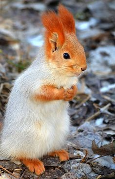Quando o esquilo tem um ruivo mais bonito que o seu…
