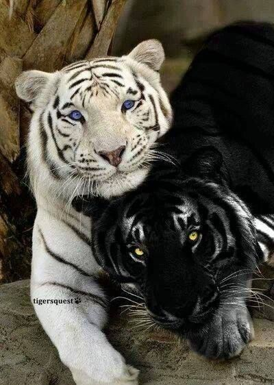 Tigers  –  two Rare Species  – White Tiger and Black Tiger (recessive trait causing  melanism: resulting in all black pigmentation