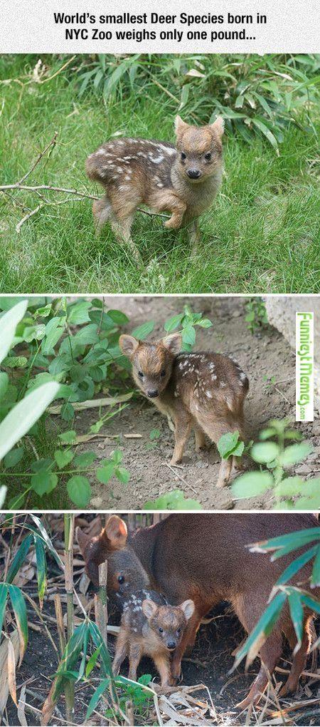 Worlds smallest deer species. Cute!