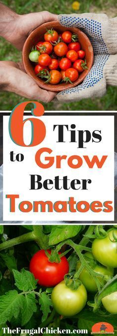 Growing tomatoes can go great…or it can be a total disaster. Heres 6 tips to growing great tomatoes so you can have a huge