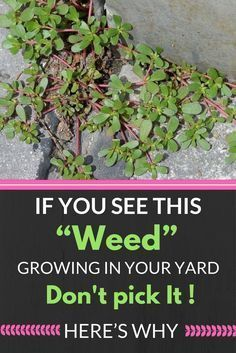 "If You See This ""Weed"" Growing In Your Yard, Don't Pick It! Here's Why… wp.me/p8kXNw-e9"