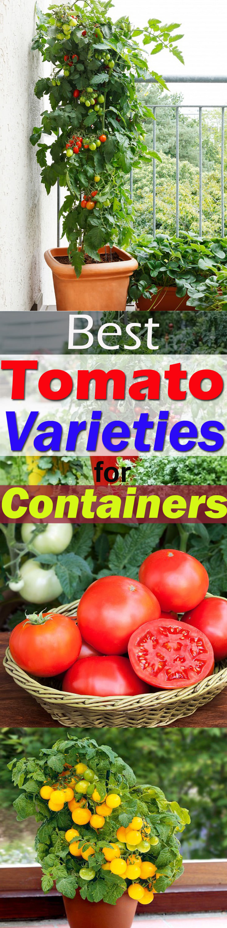 It is possible to grow tomatoes in pots, but there are a few BEST TOMATO VARIETIES FOR CONTAINERS that are easy to grow, taste