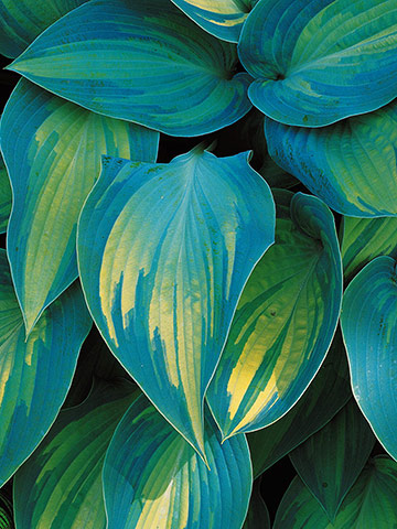 'June'  Golden-yellow foliage with streaky blue-green edges.  Moderate in size @ 15″, purple flower. 1997
