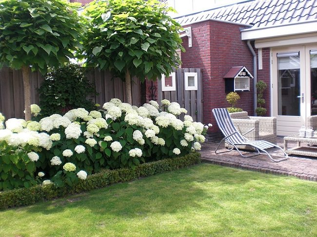 Landscaping with Hydrangeas is popular due to their captivating display of beautiful flowers and foliage. If right growing