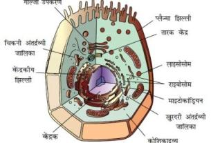 1454616323 animal cell - कोशिका (Cell)