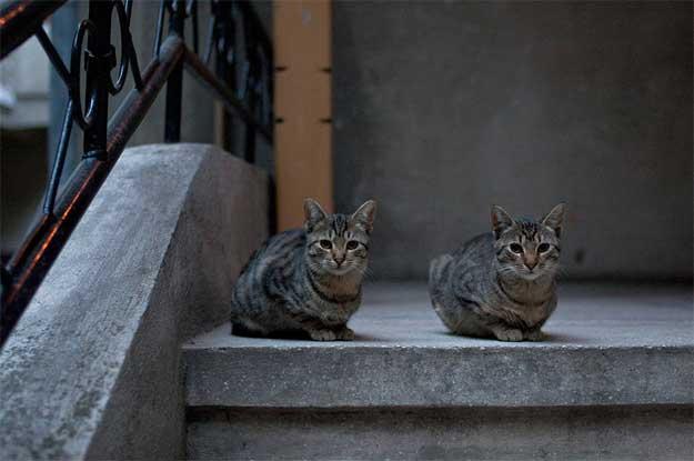 Pisicile-Poetice-1