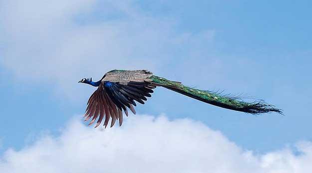 Zborul-paunului-1