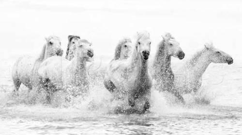 Cai albi