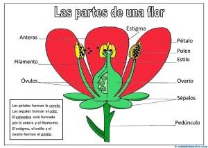 Partes de una flor-color