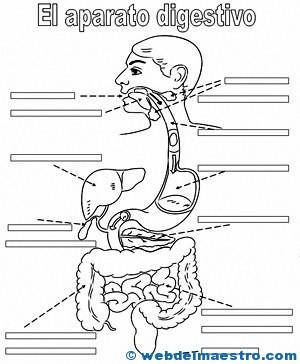 Aparato digestivo para niños - Web del maestro