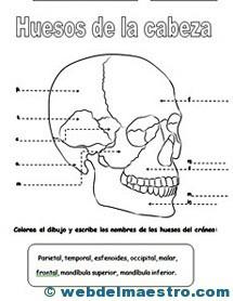 Sistema locomotor cabeza