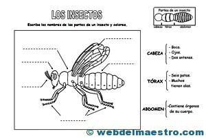 Animales Invertebrados Partes De Un Insecto Web Del Maestro