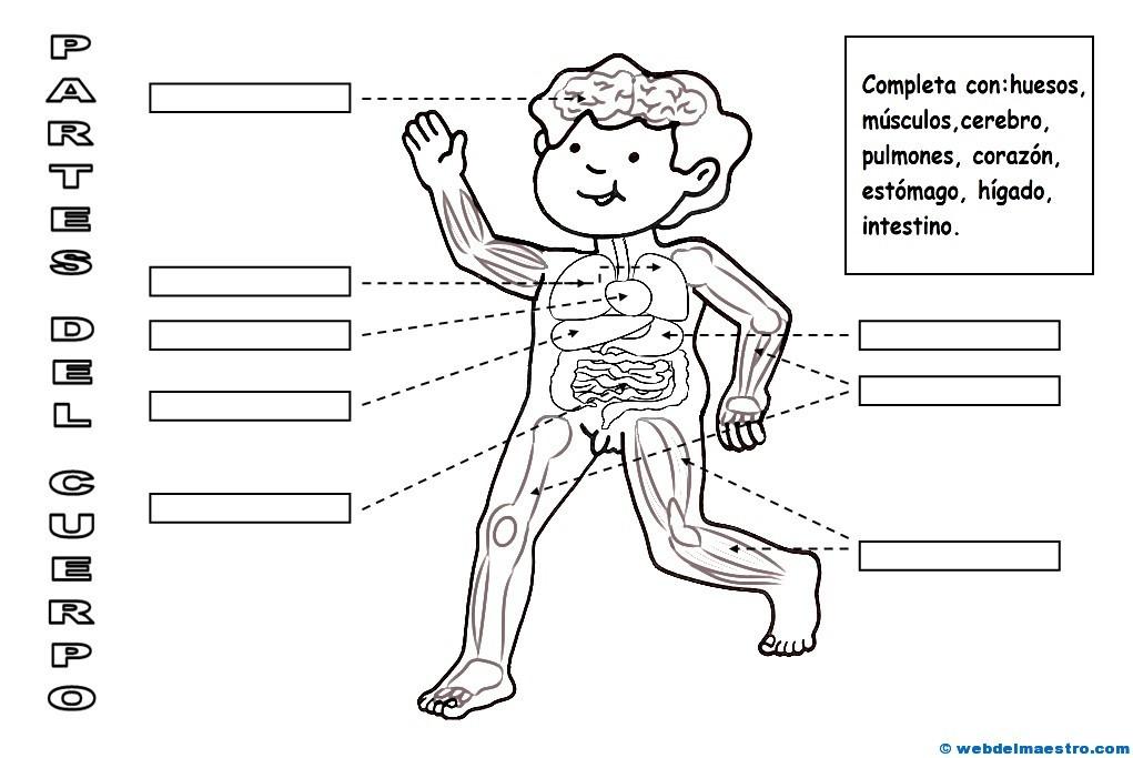 Partes del cuerpo humano-3 - Web del maestro
