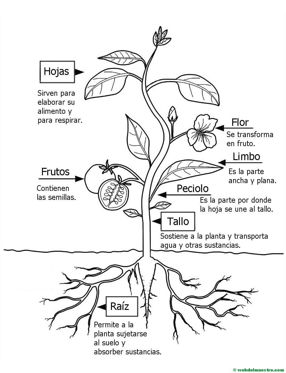Partes De Una Planta Para Colorear Web Del Maestro