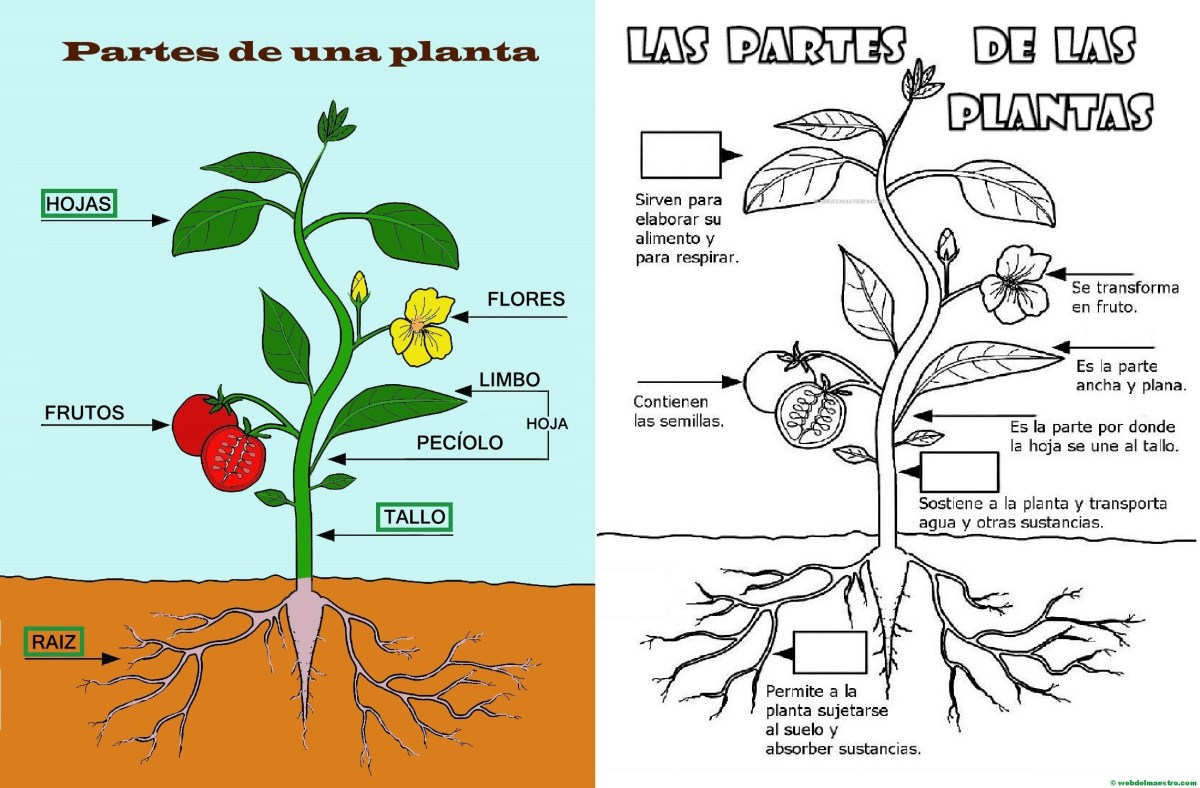 Partes de una planta para niños de Primaria