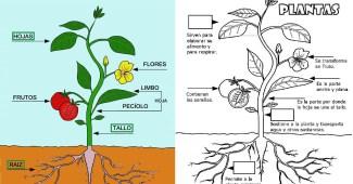 Partes de una planta para niños de primaria-