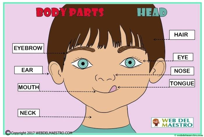 Partes de la cabeza en inglés-COLOR