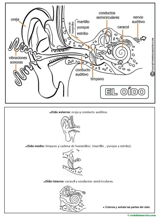 El oído-Actividades-III