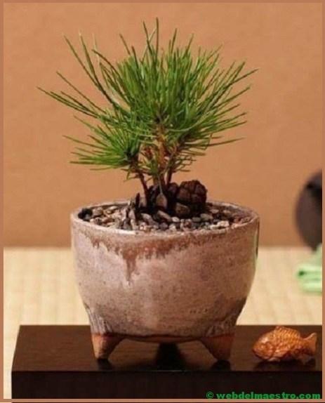 bonsai-3