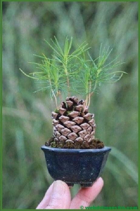 pino bonsai-1
