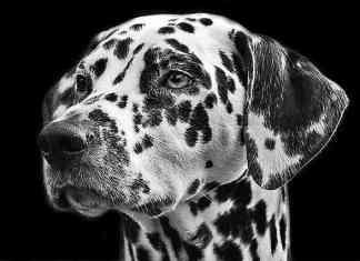 Dalmatiner schwarzweiß