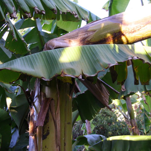 Image result for broken banana tree