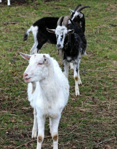 , Fairy Tale, The Three Billy Goats Gruff, WebEnglish.se