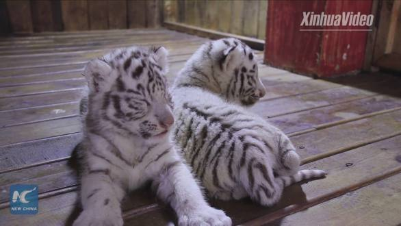 Image of: Filmed Themselves Endangered Endangered Animals 49 Webenglishse Webenglish Webenglishse Endangered Animals 49