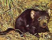 tasmaanse-duivel-zoogdier