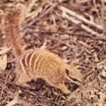 estreeptebuidelmiereneter-zoogdier