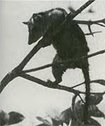 opossummuizen