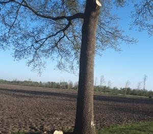 Gemeente doet aangifte wegens vernieling 33 bomen