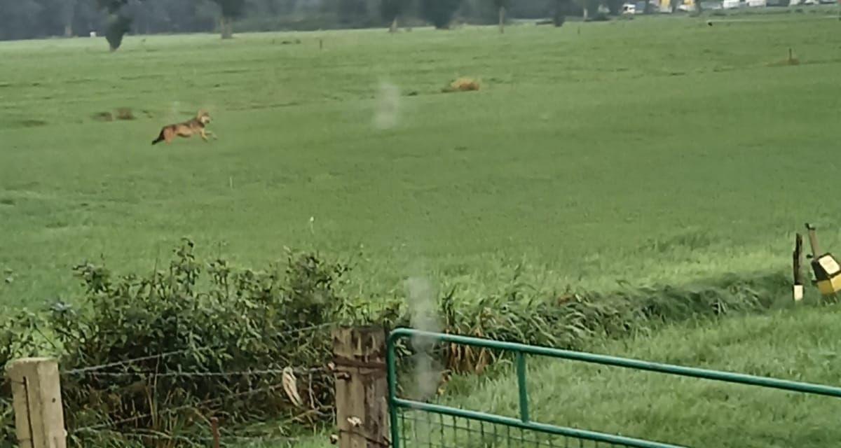 Wolf gesignaleerd aan de Krodhoeksweg, schaap doodgebeten [update: weer gespot + filmpje]