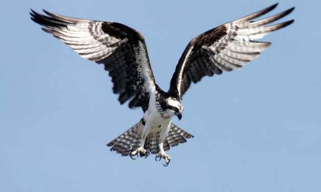 Roofvogels, en uiltje timmeren