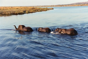 Elephants passing by across Chobe river.