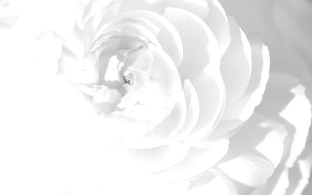 1920 × 1200 White Rose Abstract Wallpaper Desktop