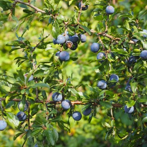 Natuurpunt Waasland Prunus spinosa