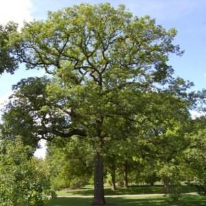 Natuurpunt Waasland Quercus robur