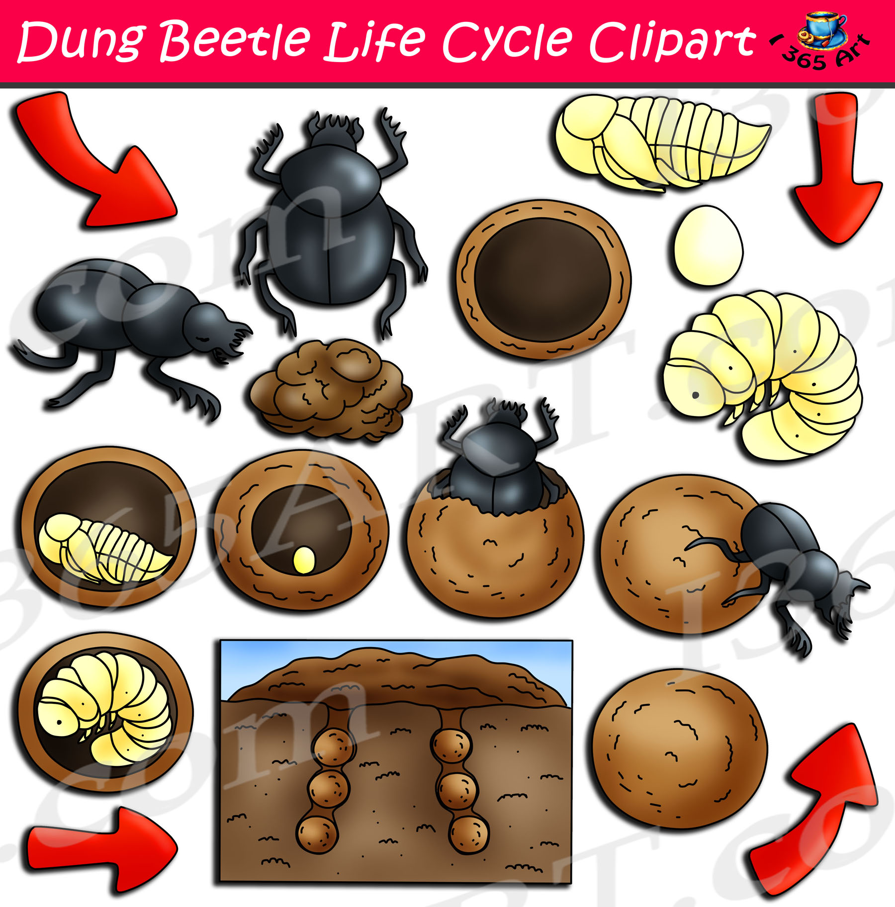 Beetle Clipart Life Cycle Beetle Life Cycle Transparent